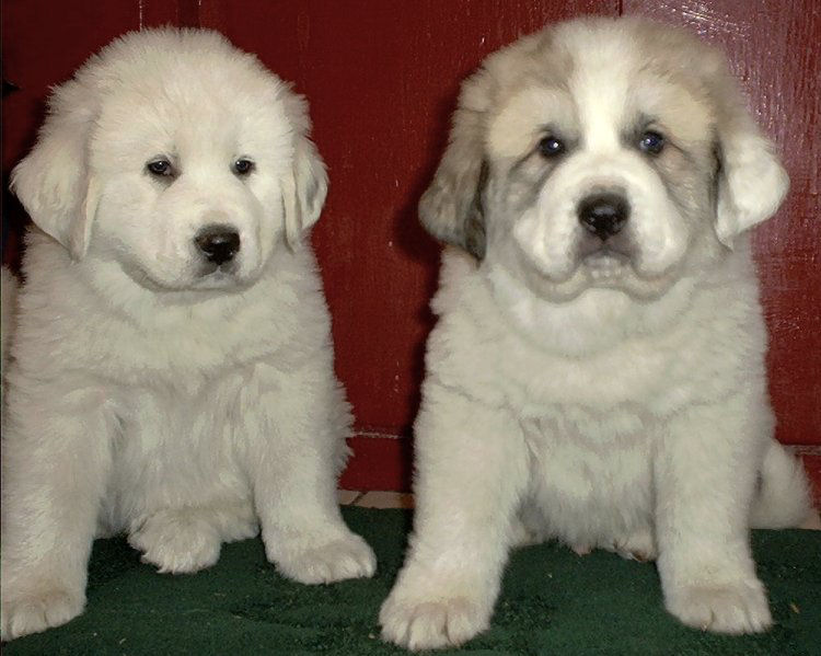 Great Pyrenees Mix Puppies Mn