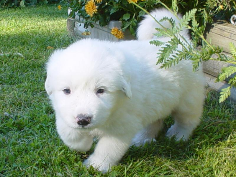 Great Pyrenees on Pinterest | Great Pyrenees Puppy, Great Pyrenees Dog ...