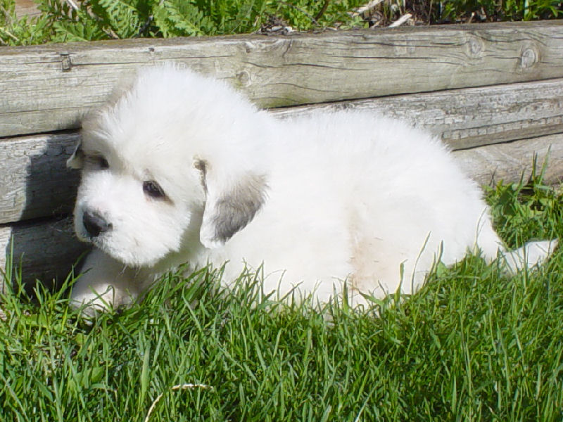 Great Pyrenees Cute Puppies Show