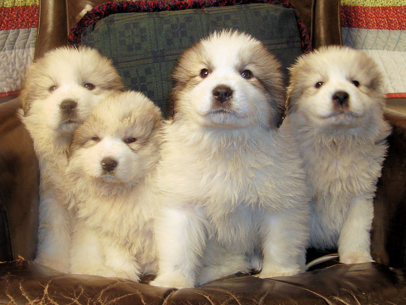 Great Pyrenees Dogs Breeds