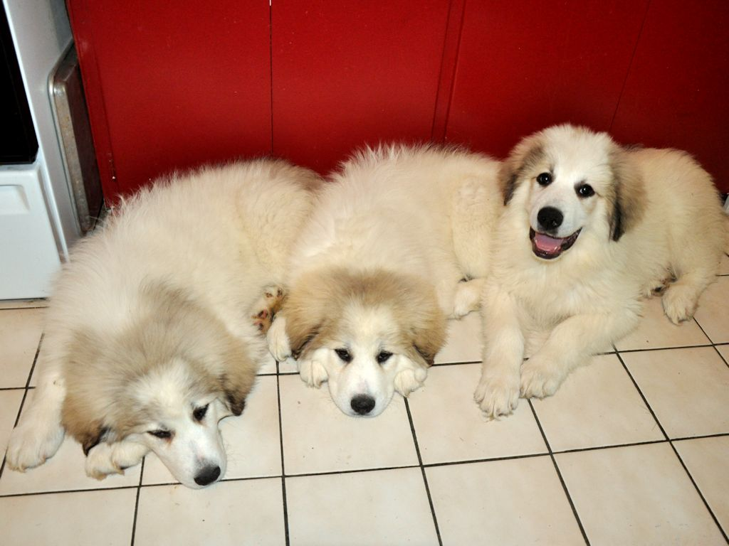 Great Pyrenees Guard Dogs At Milk Honey