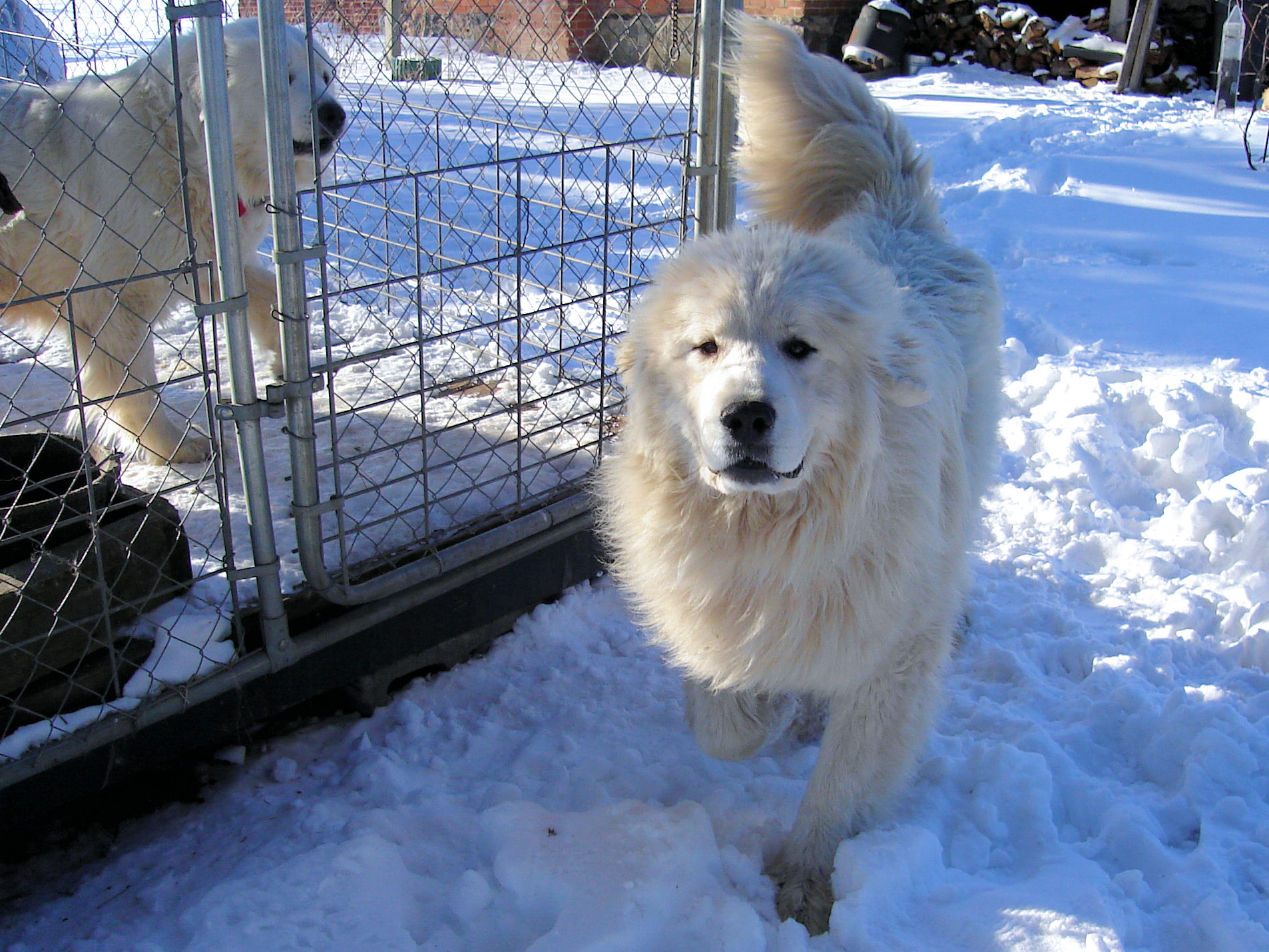 Our Adult Pyrs At Milk Amp Honey Farm