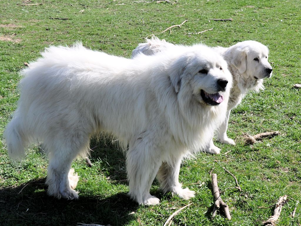 Take Over Lease >> Our Adult Pyrs at Milk&Honey Farm