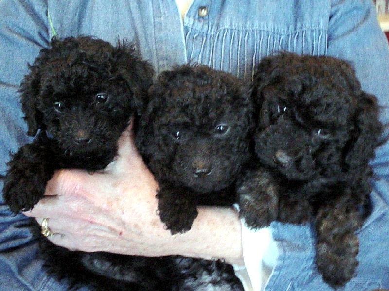 Miniature Poodles At The Milkhoney Farm